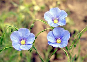 Flax with pancreatitis