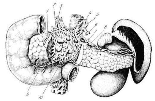 Innervation of the pancreas