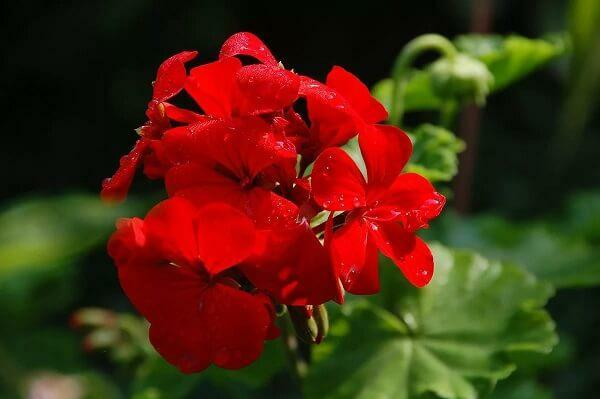 Geranium blood red
